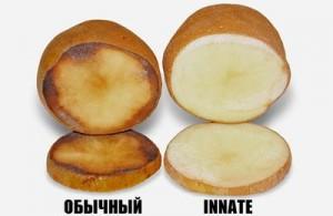 Канада одобрила новый вид ГМО-картофеля
